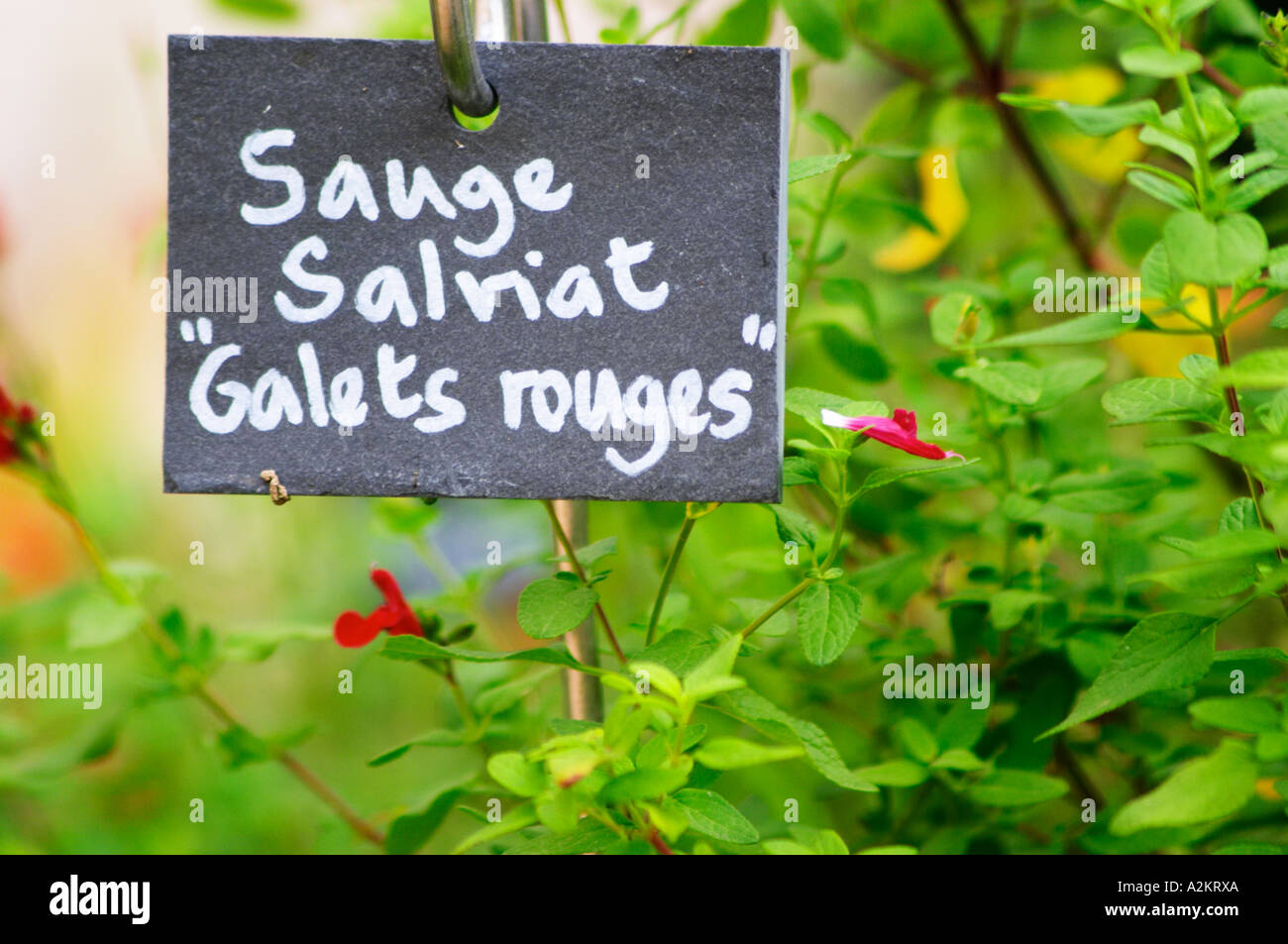 Feuille De Pierre Slate Skin sauge stock photos & sauge stock images - alamy