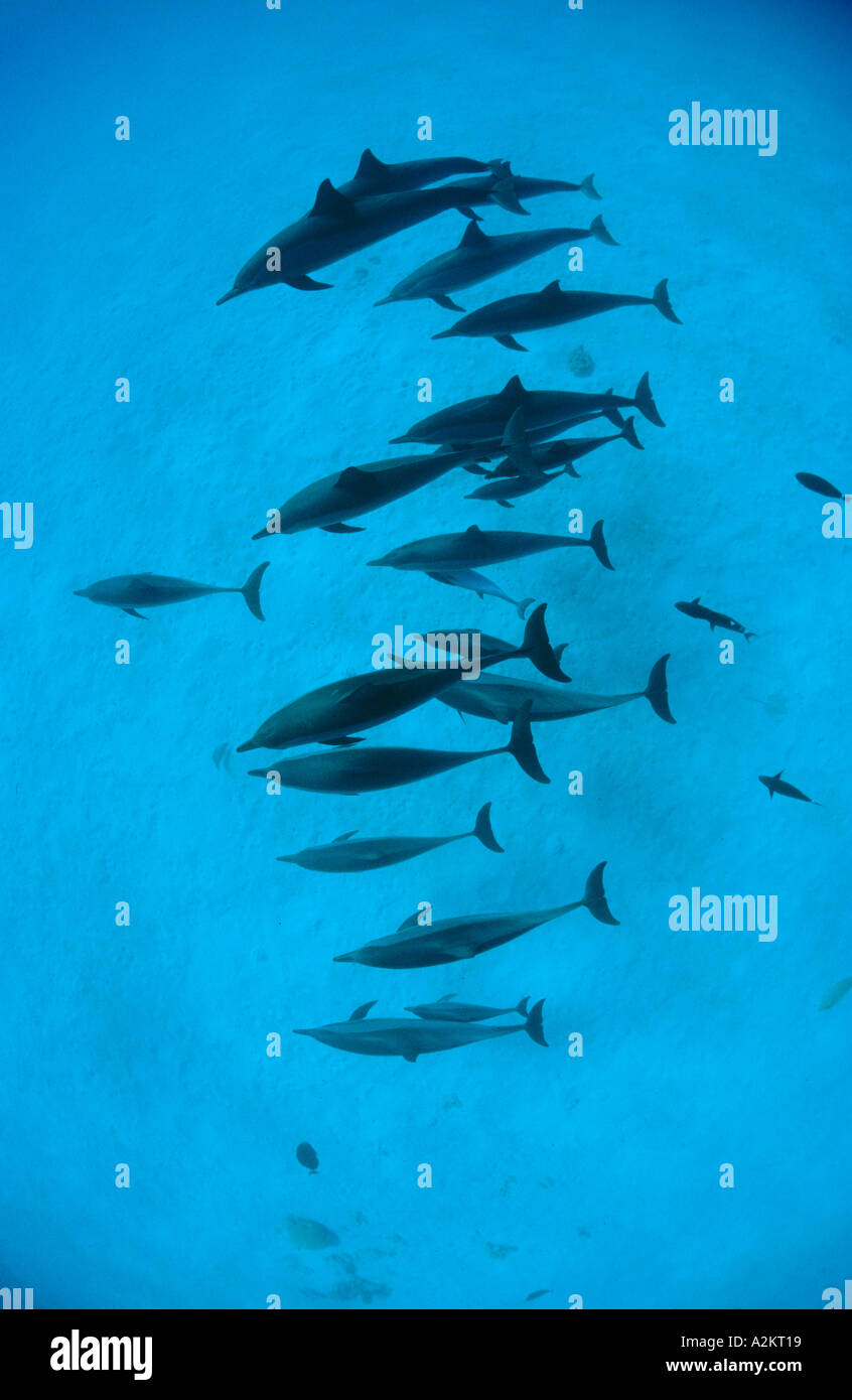Stenella longirostris longsnouted dolphins, Red Sea - Stock Image