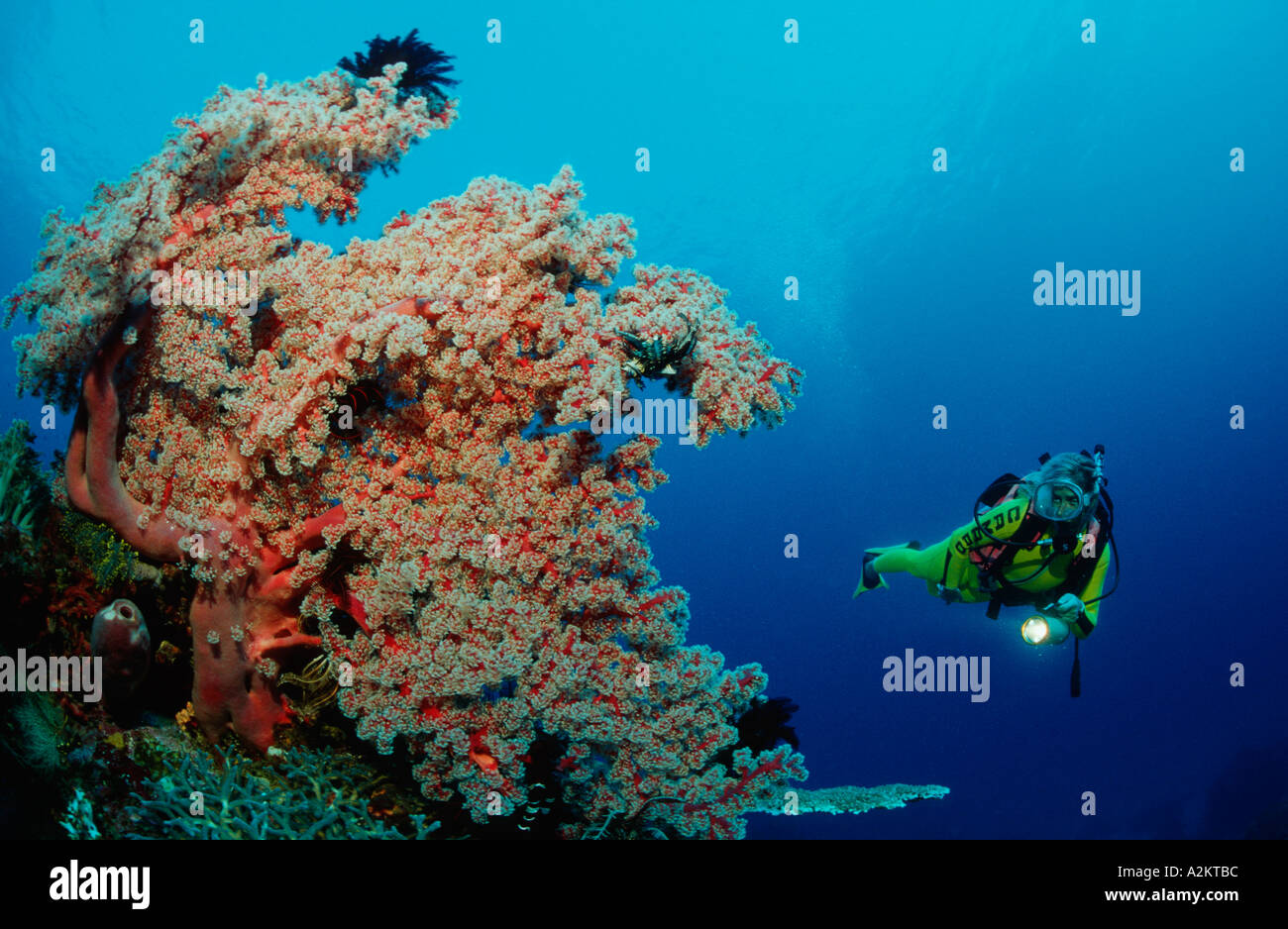 scuba diver with softcorals - Stock Image