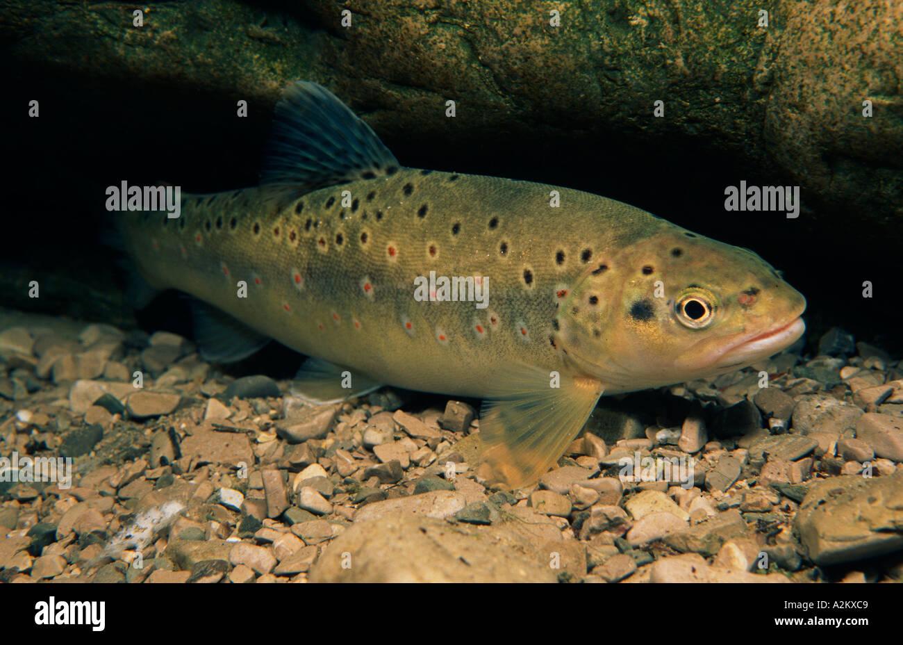 Brown trout, Salmo trutta forma fario Stock Photo