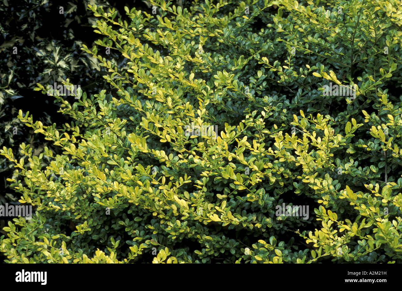Ilex Crenata Golden Gem Stock Photo 10550188 Alamy