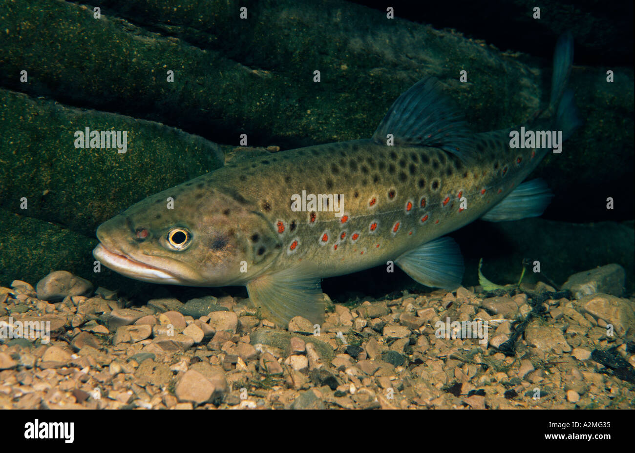 Brown trout, Salmo trutta fario Stock Photo