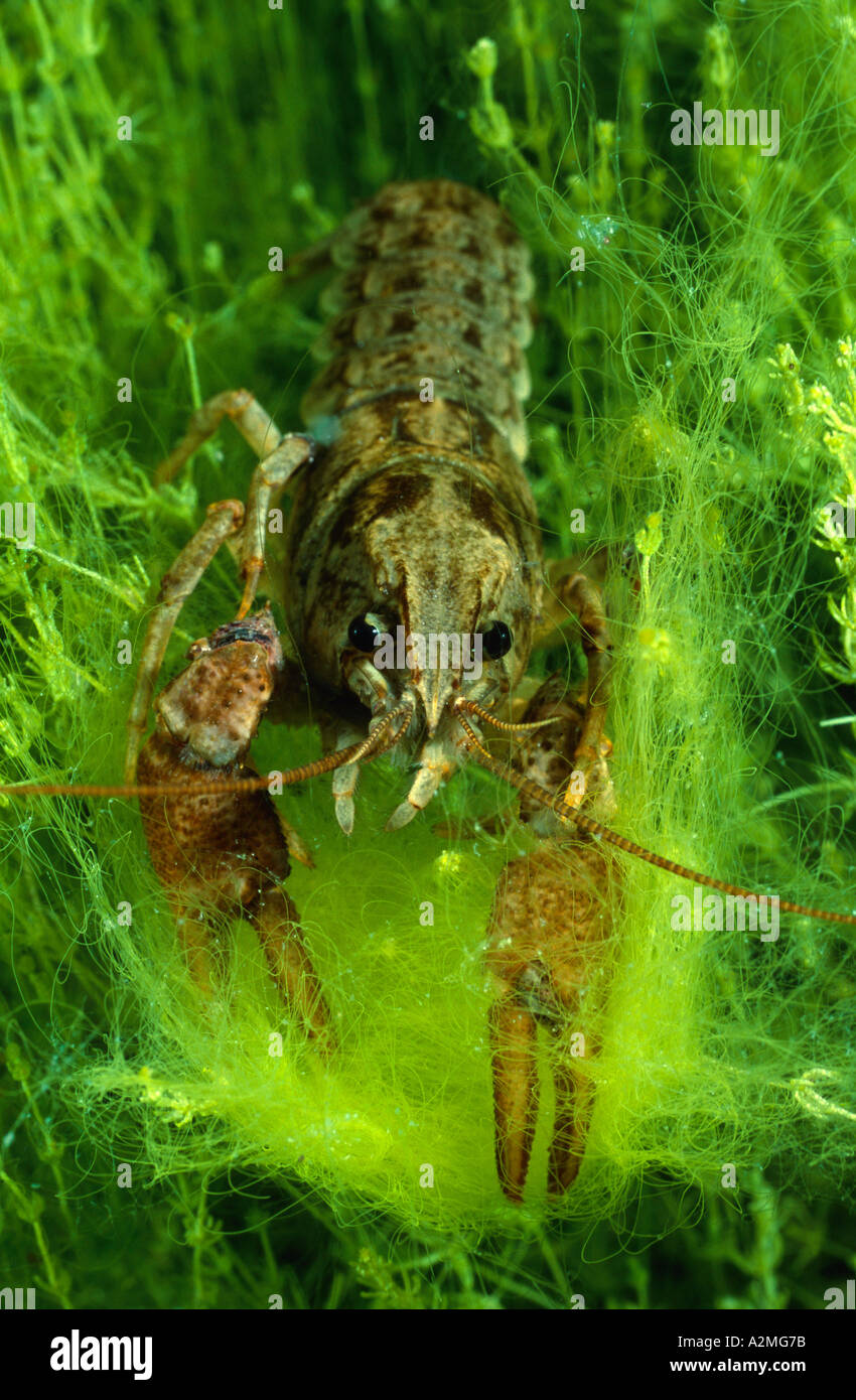 White clawed crayfish, Austropotamobius pallipes Stock Photo