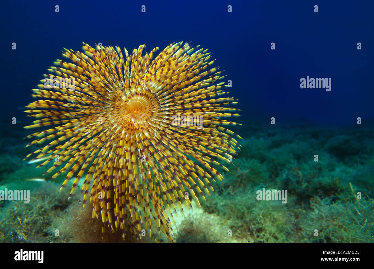Fan worm on the seafloor, Spirographis spallanzani Stock Photo