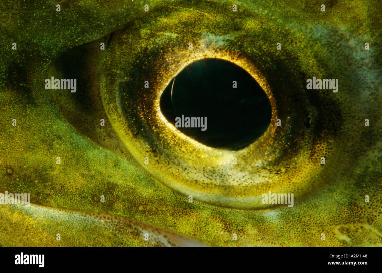 eye of Brown trout Salmo trutta fario Stock Photo
