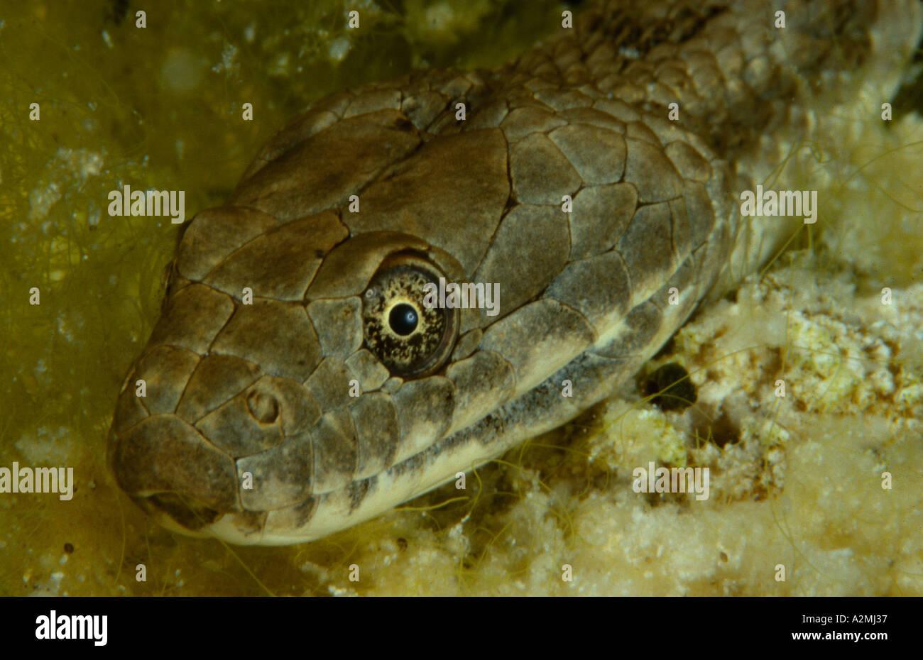 Dice Snake natrix tessellata underwater - Stock Image