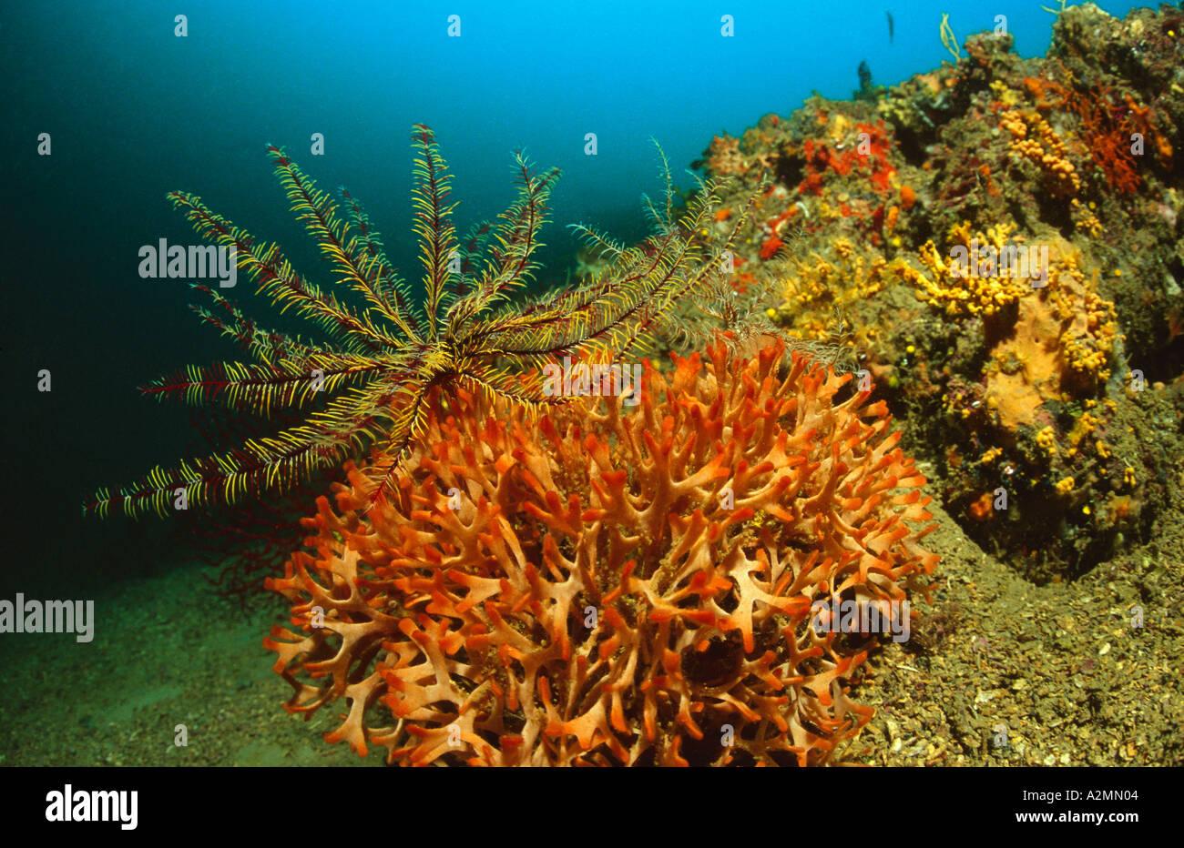reef with orange bryozoans and featherstar, Pentapora fascialis Stock Photo