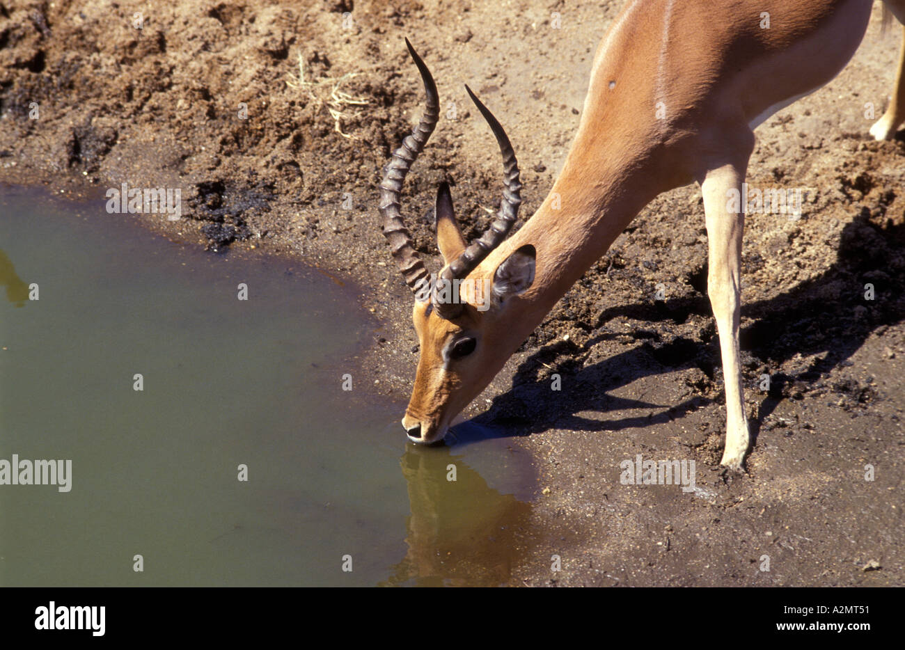 Close up of male impala with excellent horns drinking at a pool in Kruger National Park South Africa - Stock Image