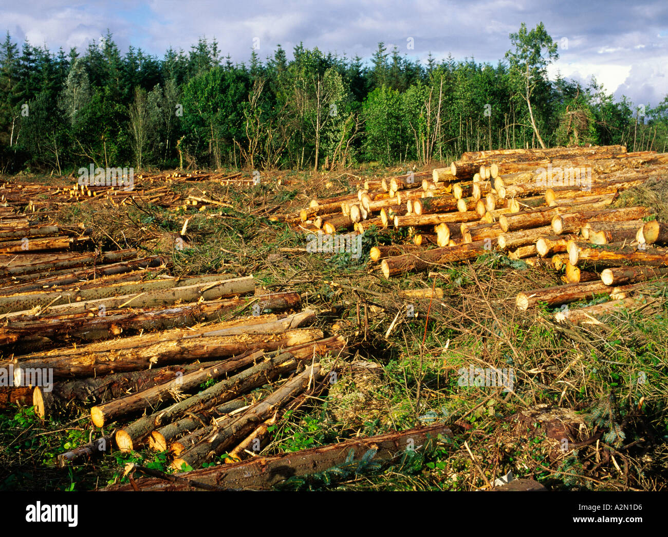 Cutting young softwood industrial conifer logging forestry timber logs in County Sligo, Ireland - Stock Image