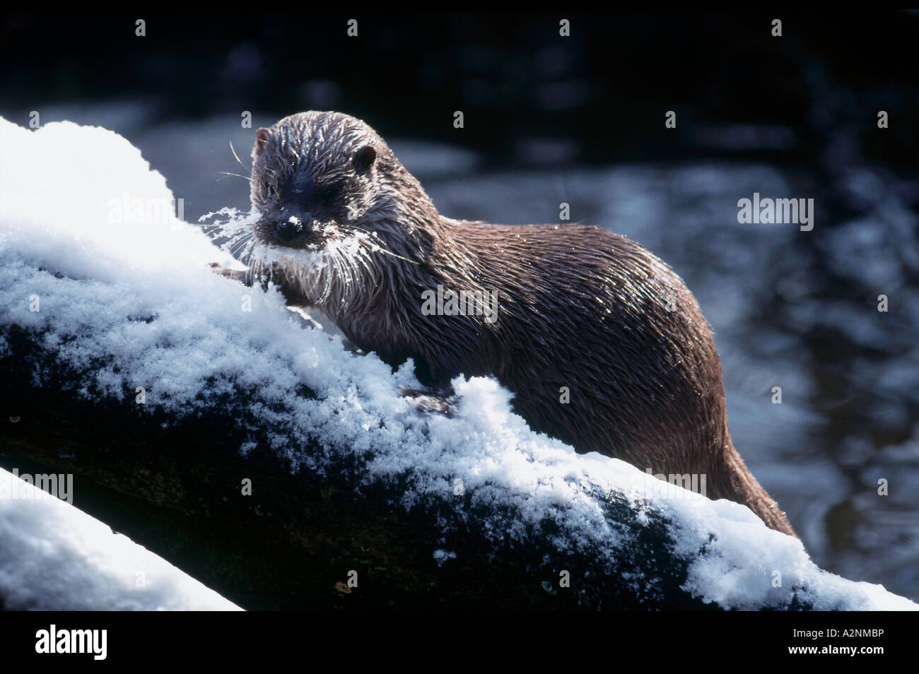 Common Otter (Lutra lutra) on frozen branch, Bavarian Forest National Park, Bavaria, Germany Stock Photo
