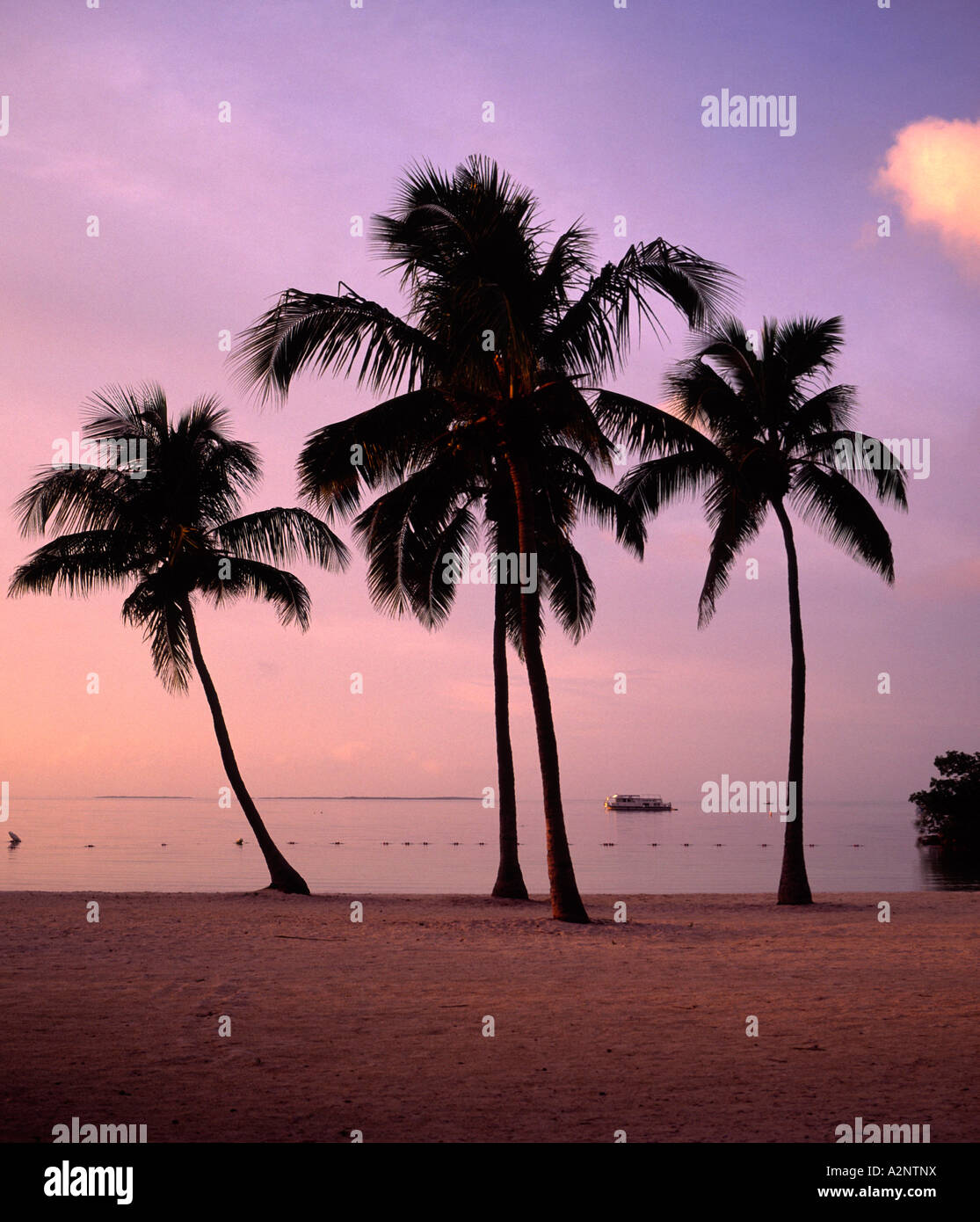 four coconut Palms sillouetted against setting sun sky on a beach in Key Largo Florida USA - Stock Image