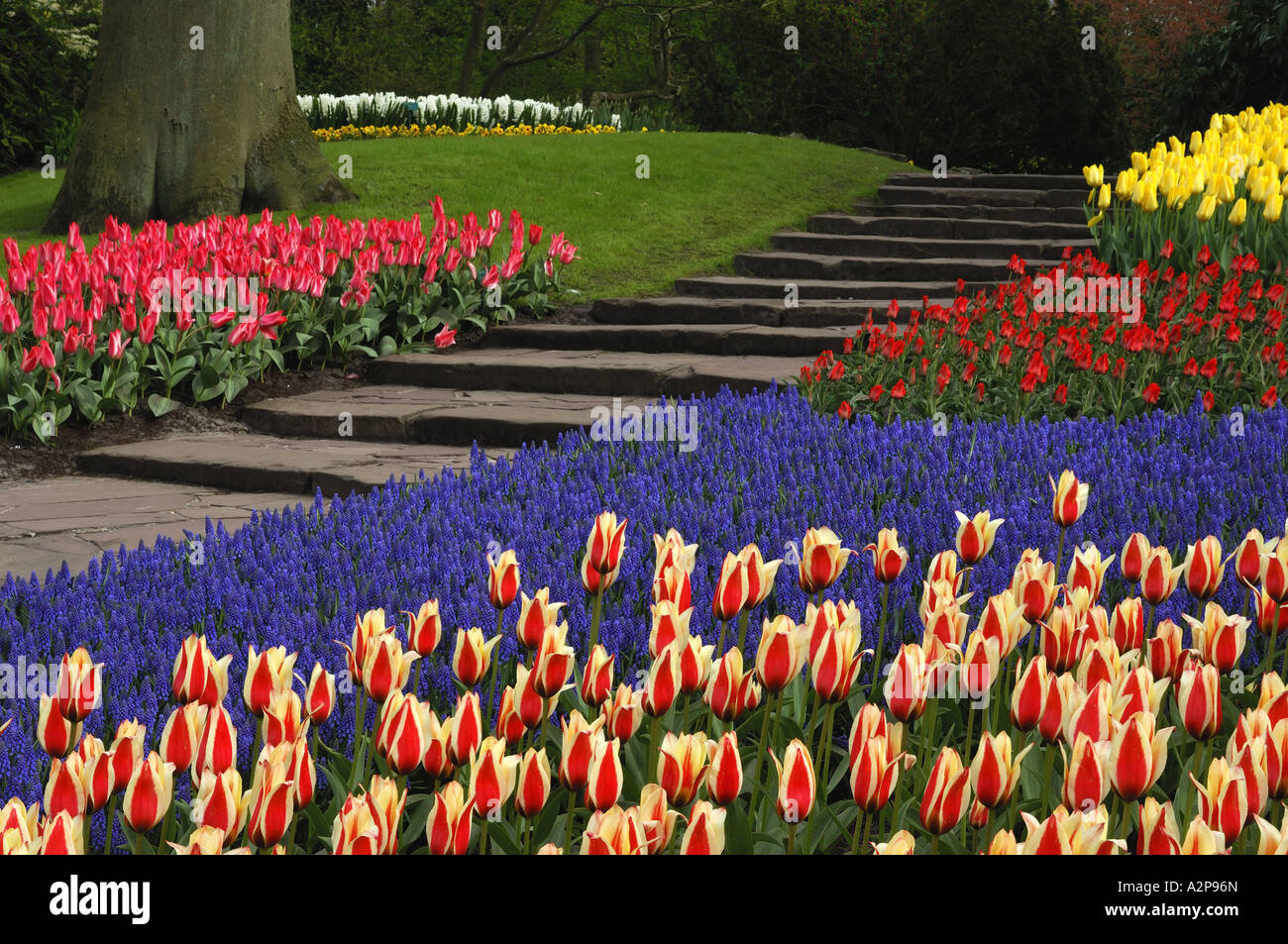 common garden tulip (Tulipa gesneriana), flowerbed with tulips and grape hyacinths, Muscari botryoides, Netherlands, Stock Photo
