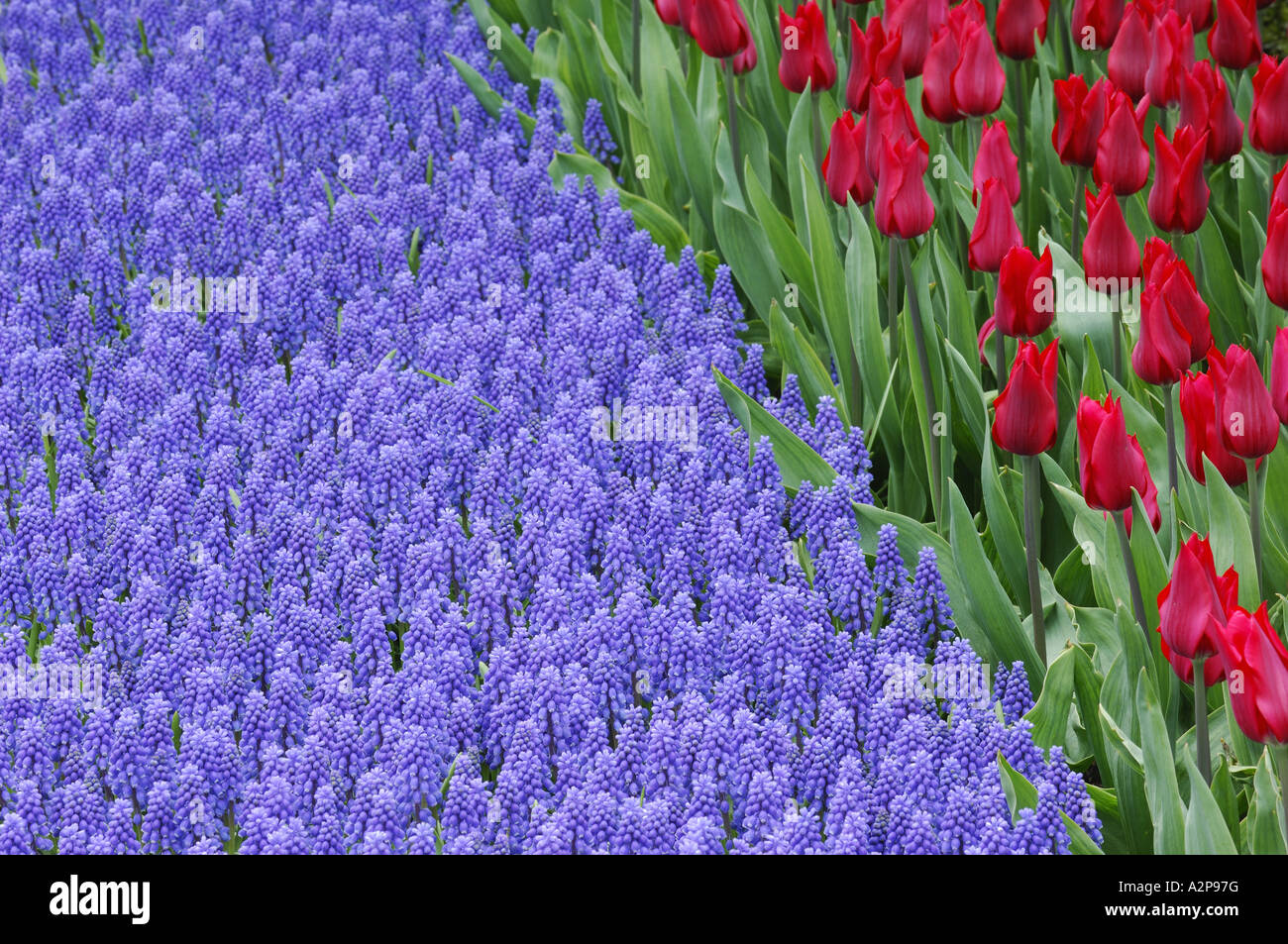 common garden tulip (Tulipa gesneriana), flowerbed with tulips and grape hyacinths, Muscari botryoides Stock Photo