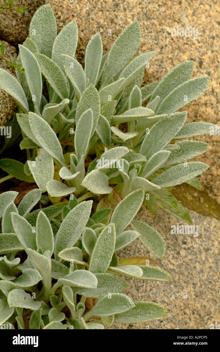Lambs ear (Stachys spp) and rock in garden - Stock Image
