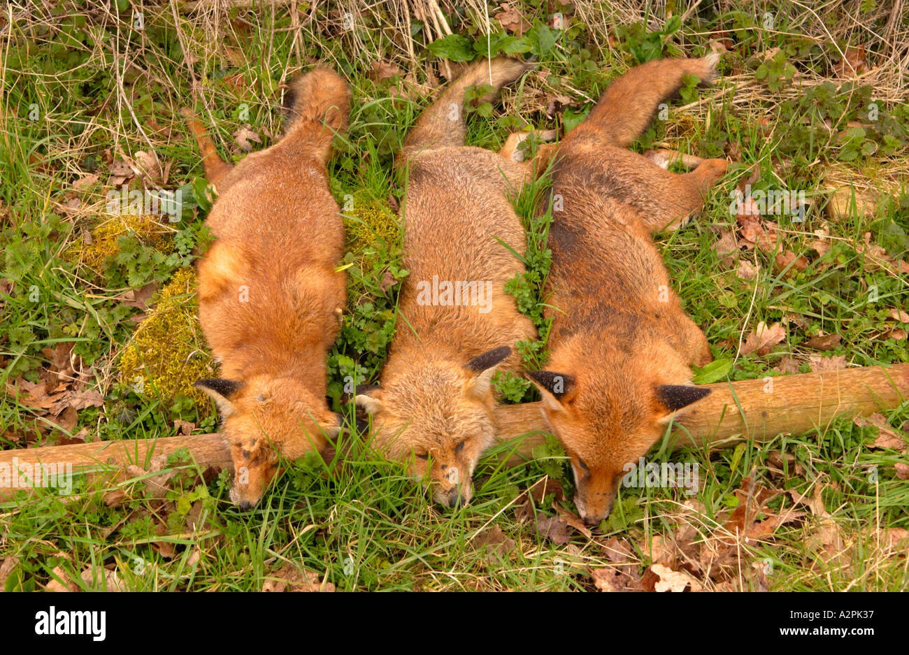 Three foxes shot by a farmer and displayed as a trophy near the farm Caerleon South Wales UK - Stock Image