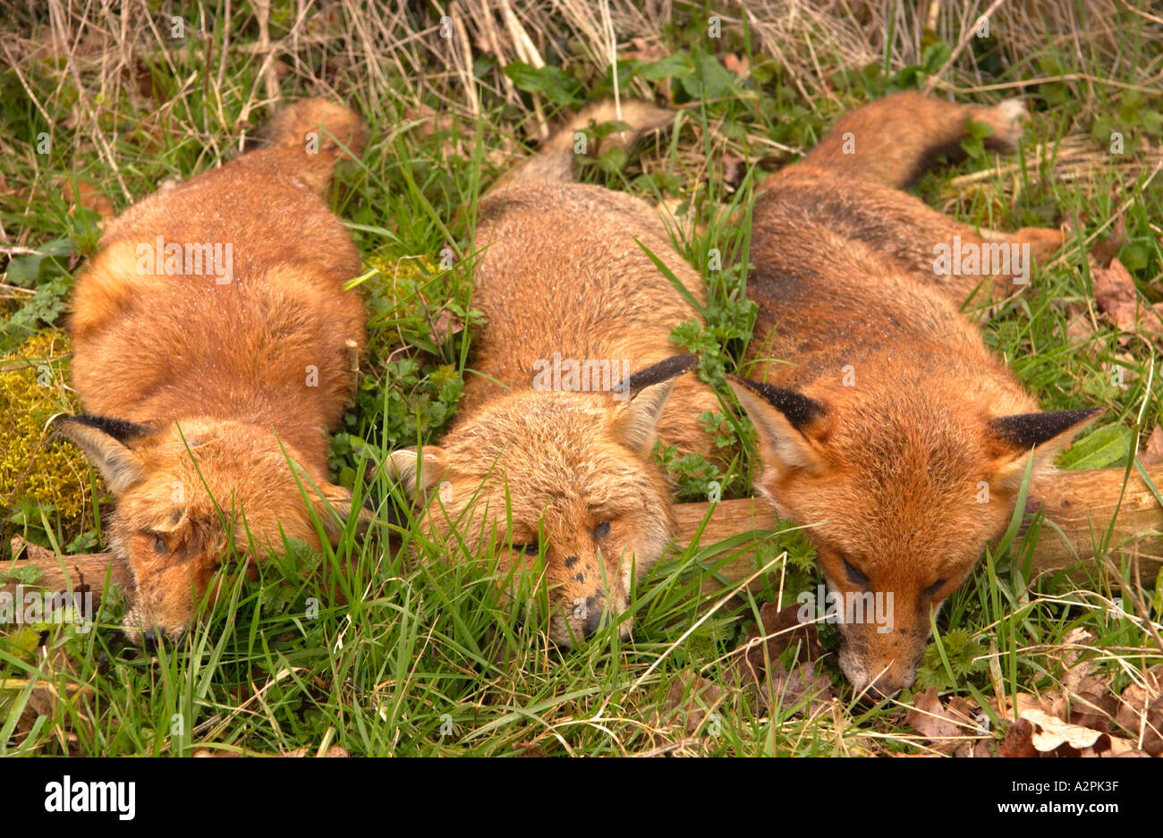 Three foxes shot by a farmer and displayed as a trophy near the farm gate Caerleon South Wales UK - Stock Image
