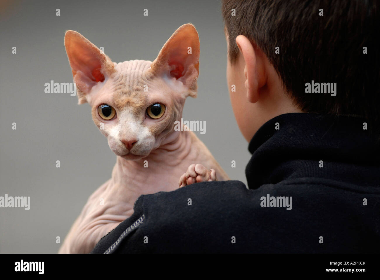 Sphinx cat at The National Cat Show Olympia London UK 2006 - Stock Image