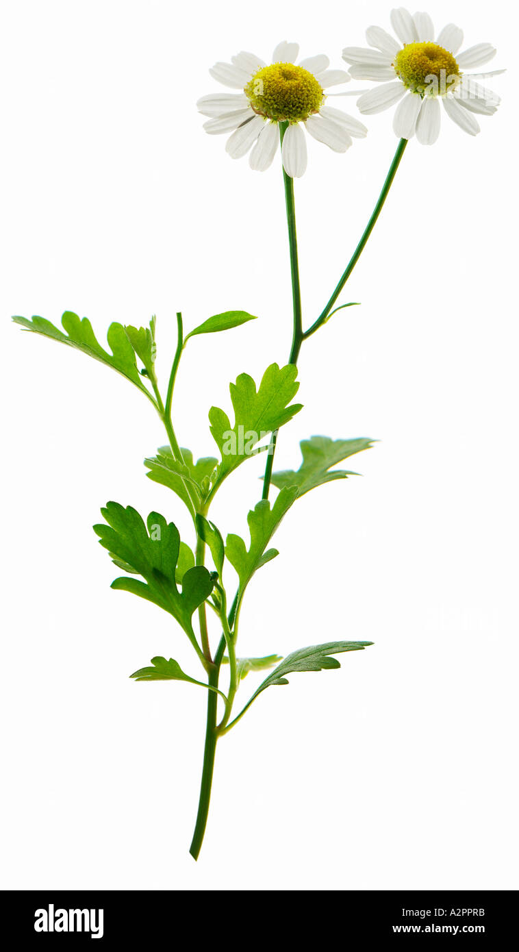 Feverfew (tanacetum parthenium) medicinal plant used to treat headaches and migraines - Stock Image