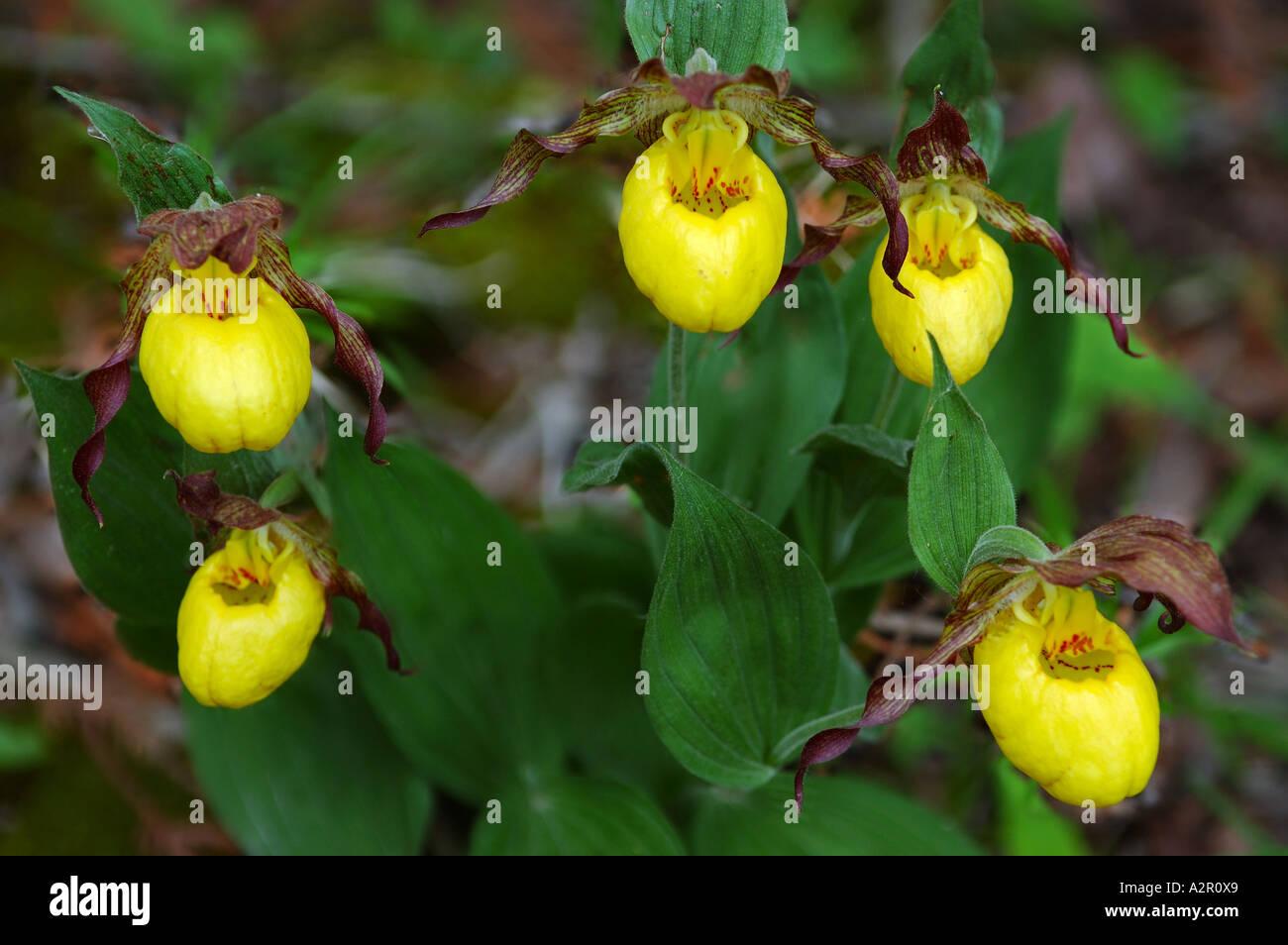 Five Wild Yellow Lady Slipper Flowers Bruce Peninsula Ontario Stock