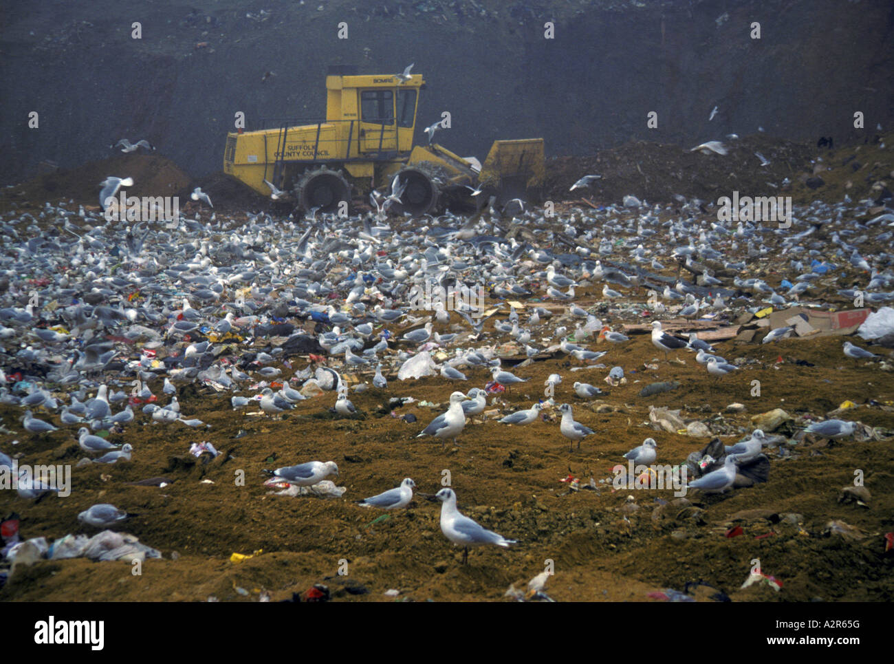 mixed gull species but mainly black headed at rubbish dump Stock Photo