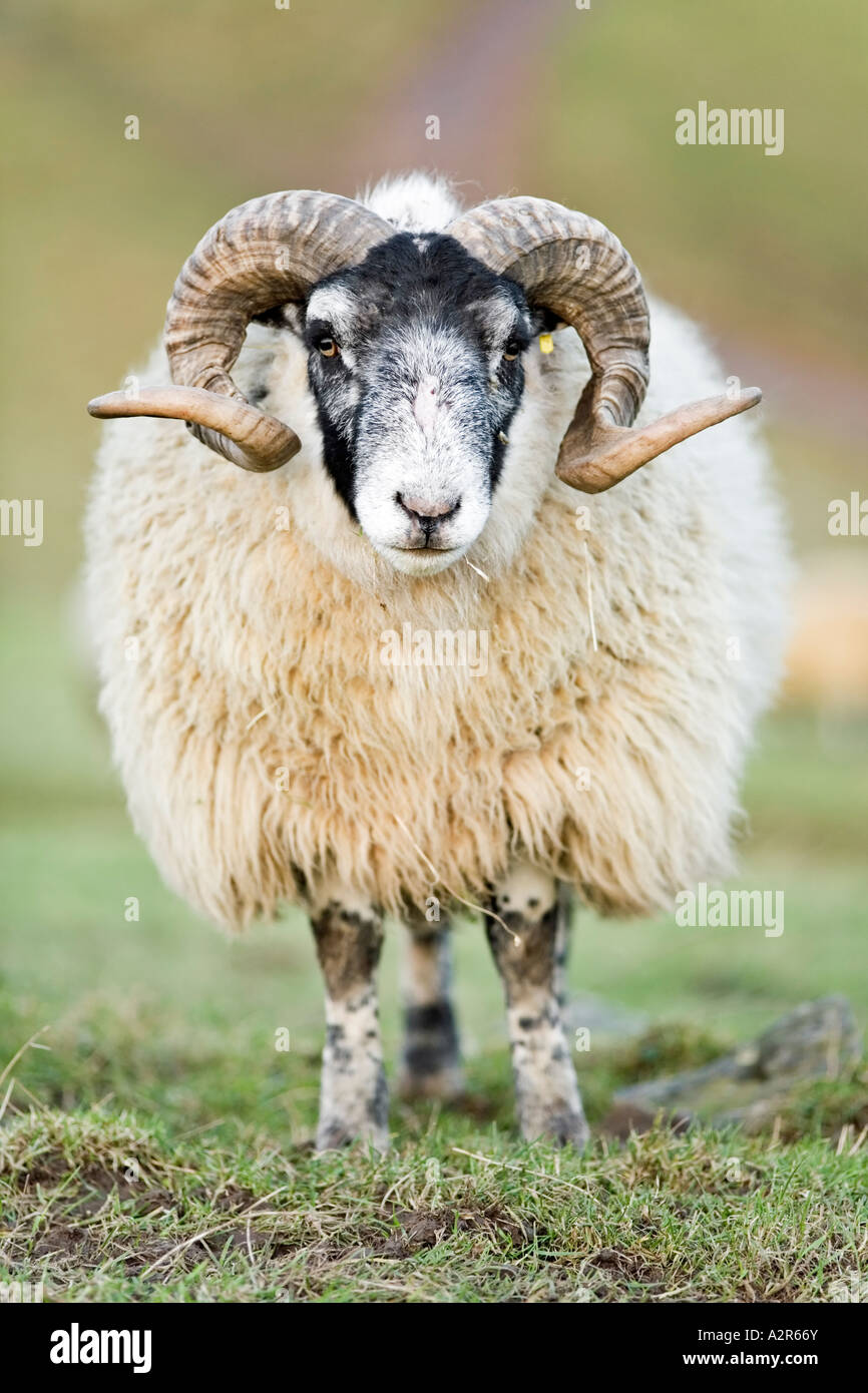 Ram of the Swaledale breed of sheep commonly found in upland areas of northern Britain Stock Photo