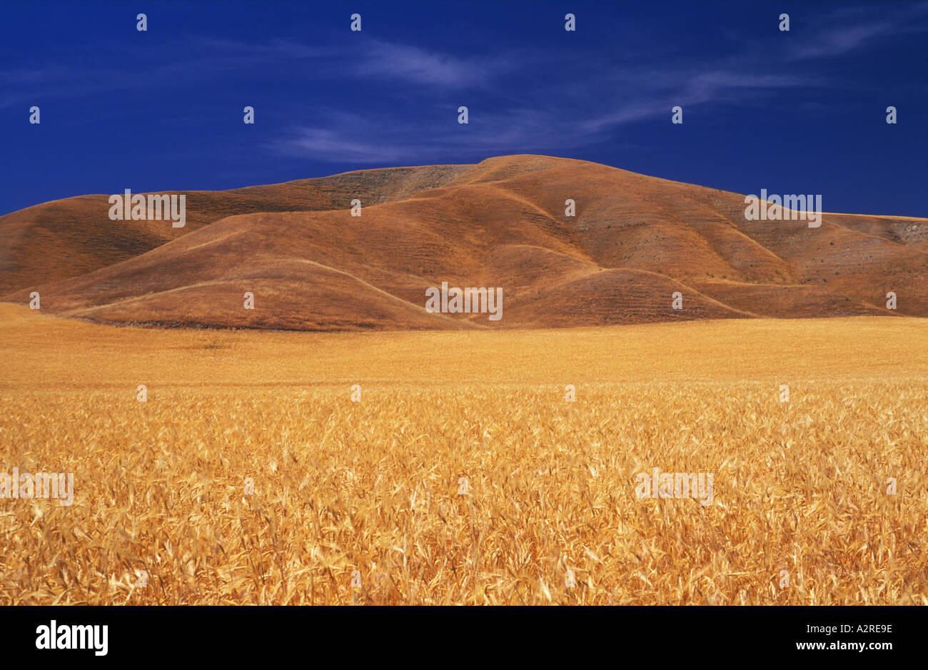 USA California Paso Robles wheat field - Stock Image