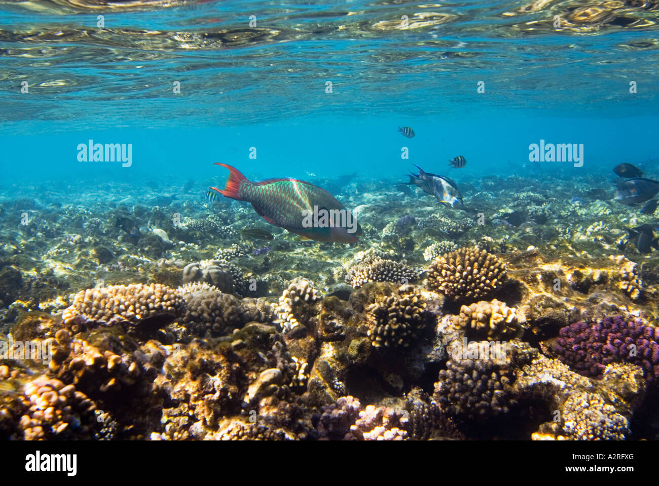 the reef riff parrot fish parrotfish corals waterline surface red