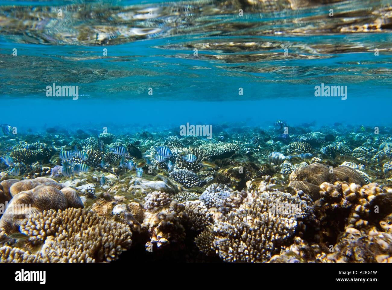 Coral reef and Indopacific sergeant Sergent major fish damsel damselfish ABUDEFDUF VAIGIENSIS waterline reef  RED - Stock Image