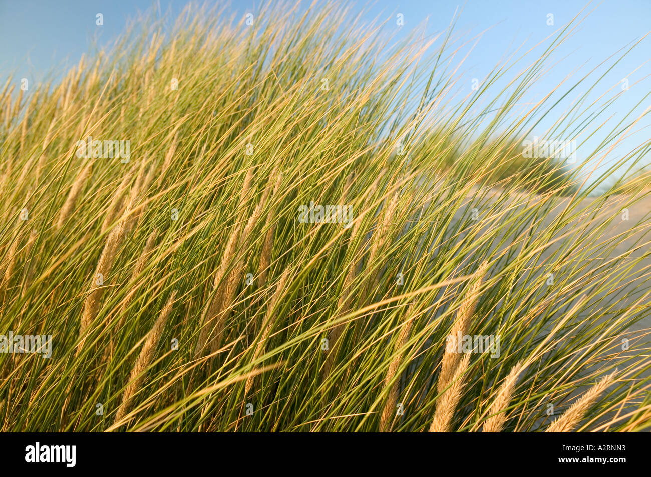 Maram Grass Dunes Twyni bach Borth Ceredigion Wales - Stock Image