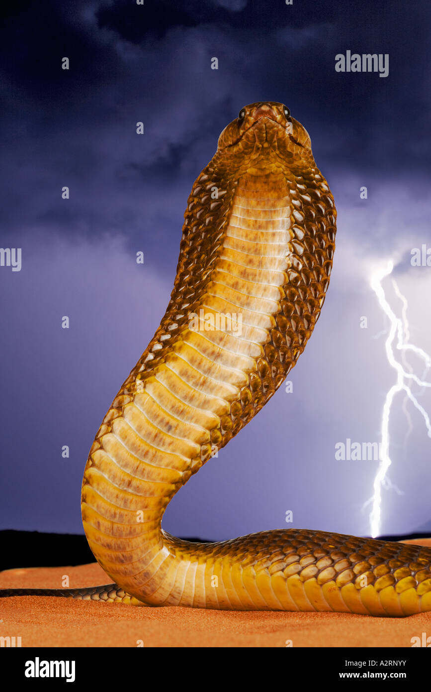 Cape Cobra Naja nivea With With lightning in background. South Africa - Stock Image