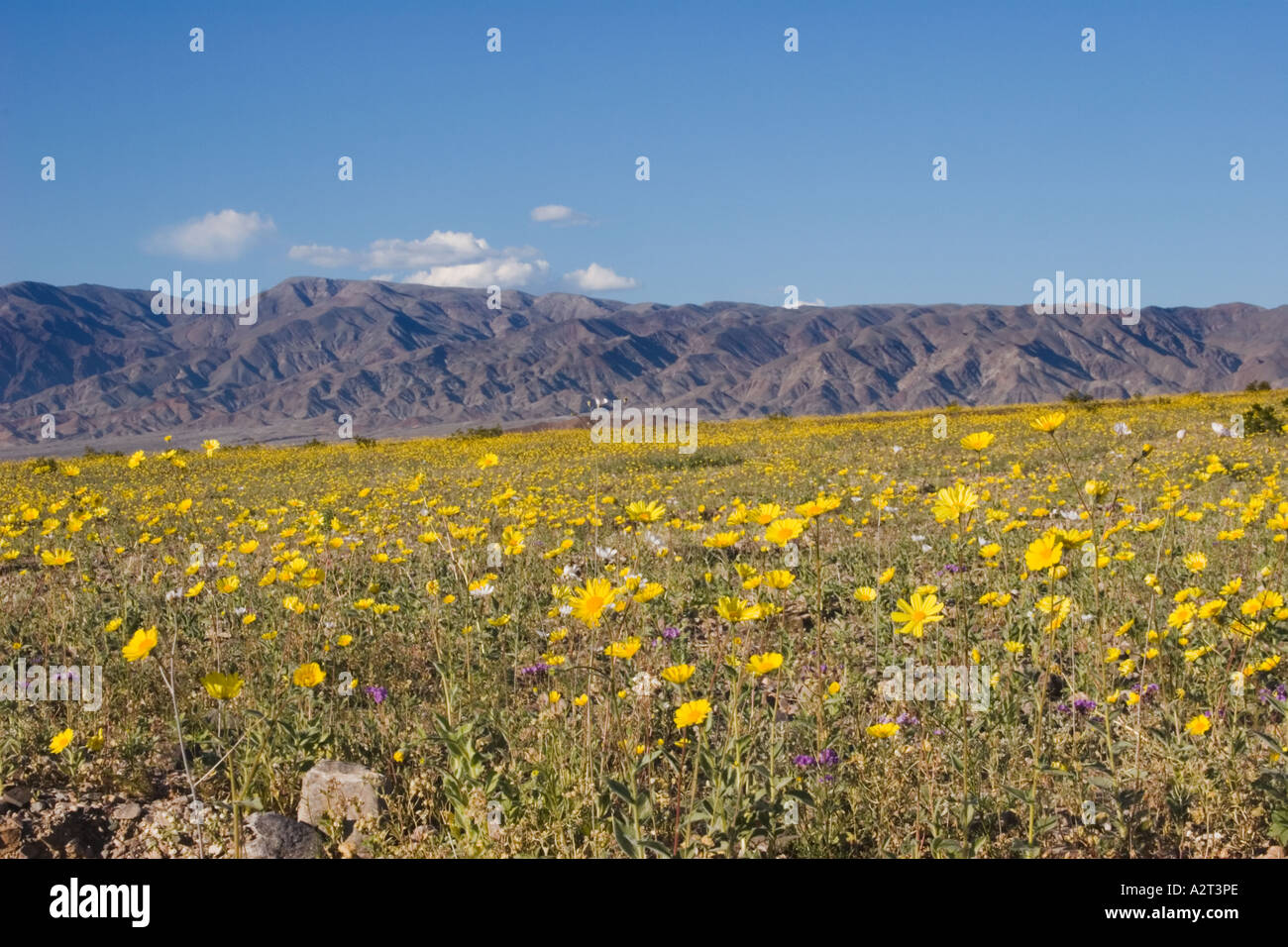Fields of desert sunflower (Gerea canescens) with snow-capped peaks in the background, Death Valley National ParkStock Photo
