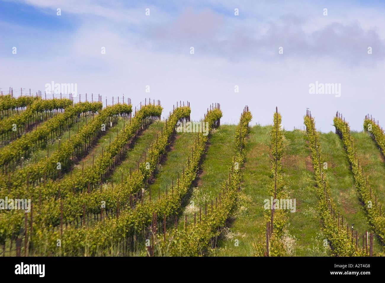 Vineyard in Sonoma County, California, United States of AmericaStock Photo