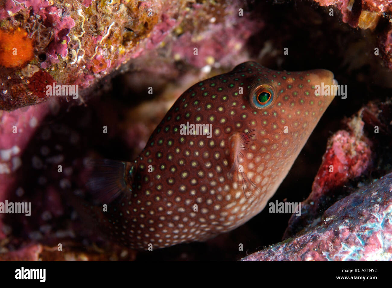 Spotted sharpnose puffer in the Galapagos Archipelago Stock Photo