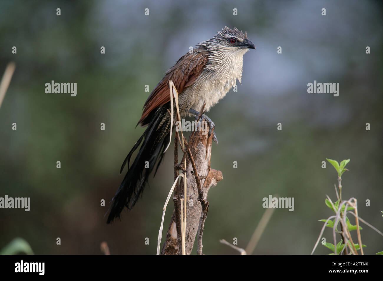 WHITE BROWED COUCAL Centropus superciliosus Tanzania - Stock Image