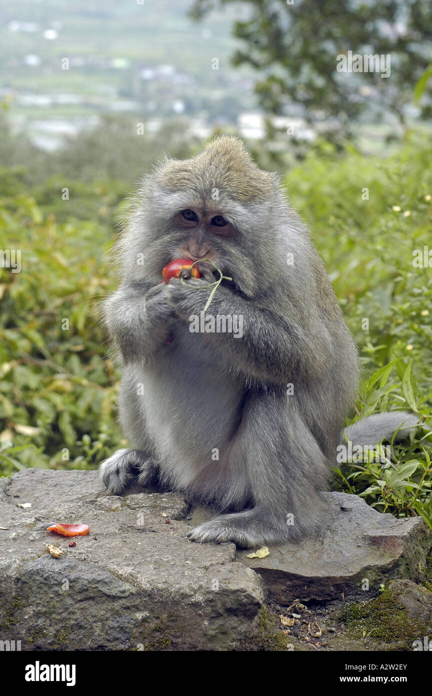 A monkey holding and eating food given away by tourists, photo taken in Bali, Indonesia - Stock Image
