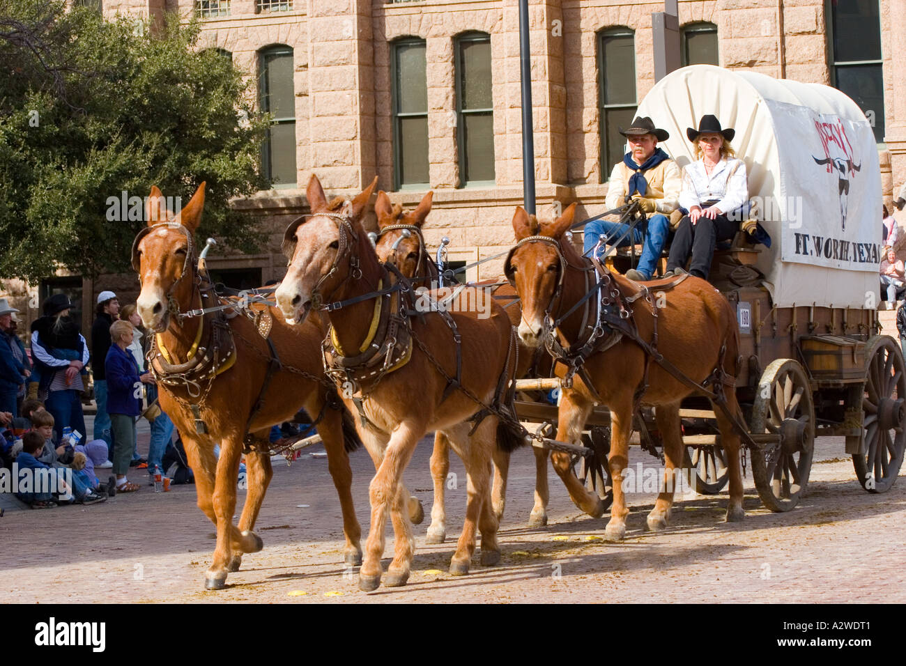 Mules Pull Chuck Wagon Cowboy And Cowgirl In Fort Worth