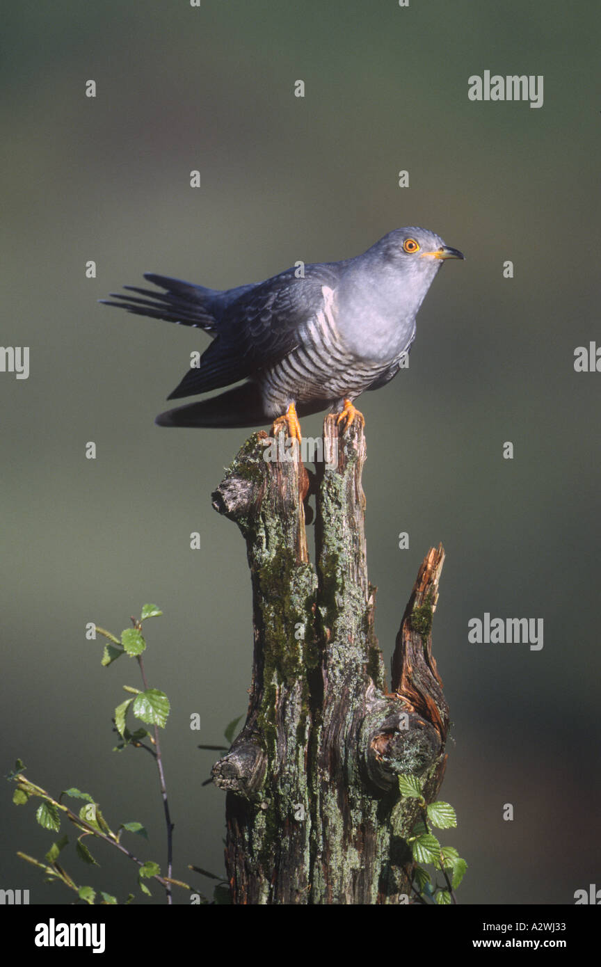 Male Cuckoo Birds Natural World Wales - Stock Image