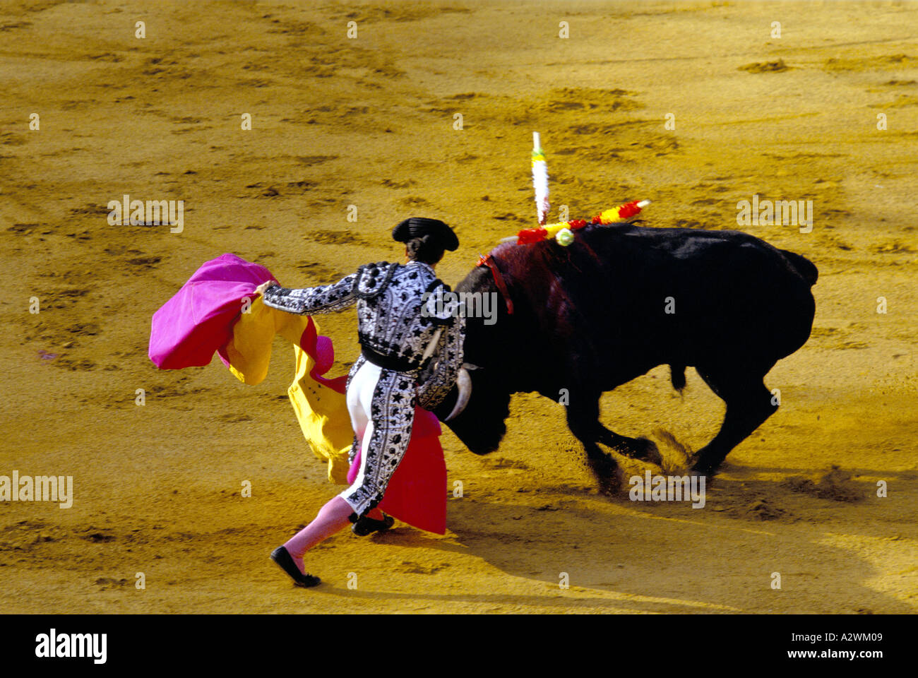 a footman bullfighter capeadores or peones in a white suit with black embroidery works a bull with a magenta and gold cape in or - Stock Image