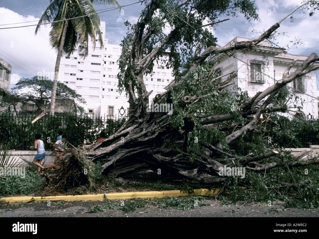 Tree uprooted, lying across the pavement after a hurricane in Havana Cuba - Stock Image