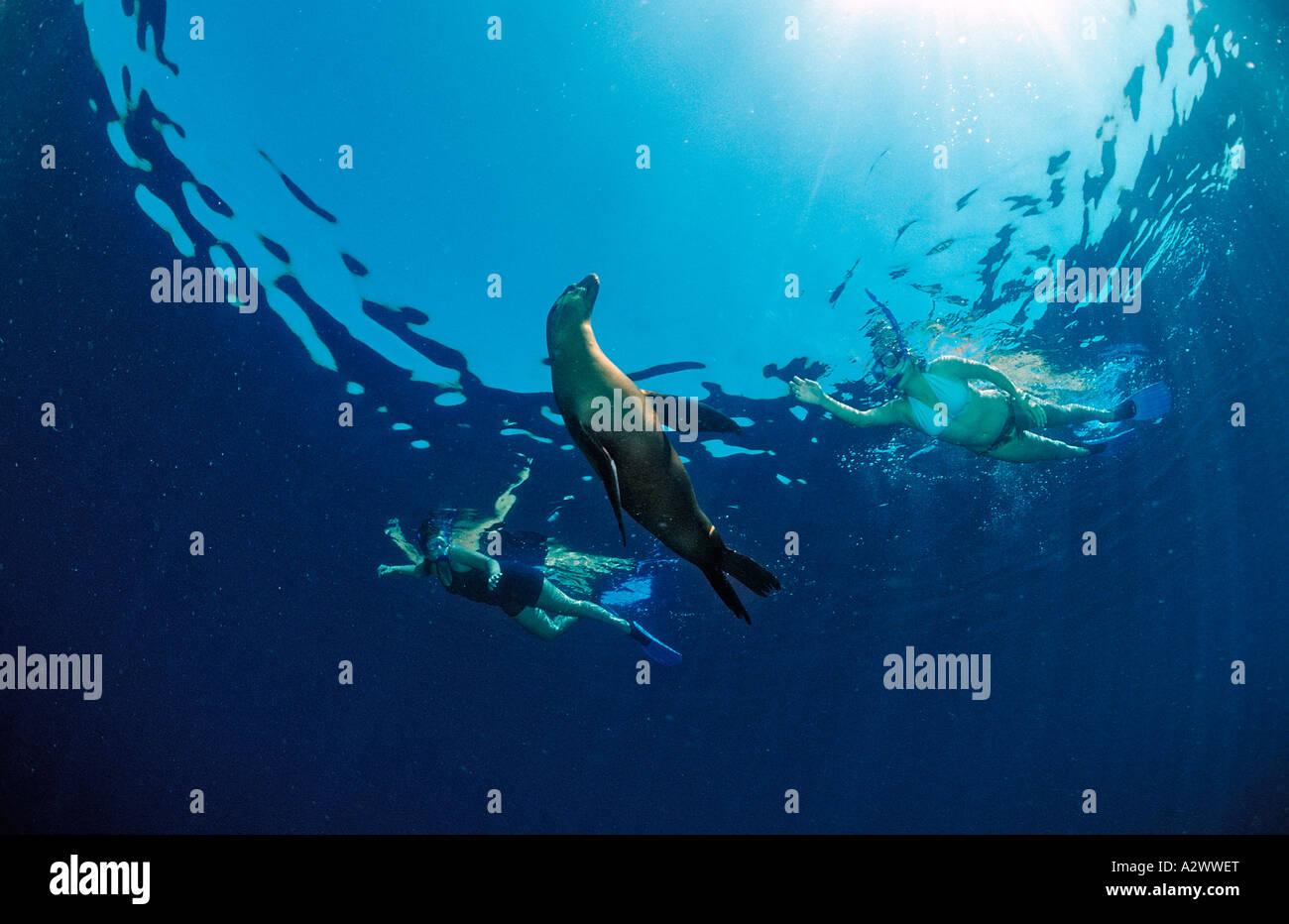 Californian Sea Lion and scin diver Zalophus californianus Mexico Sea of Cortez Baja California La Paz - Stock Image