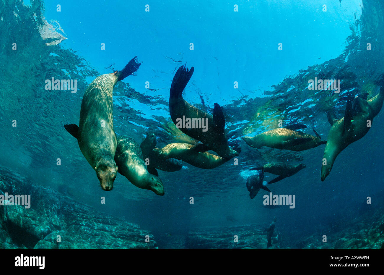 Group of Californian Sea Lion Zalophus californianus Mexico Sea of Cortez Baja California La Paz - Stock Image
