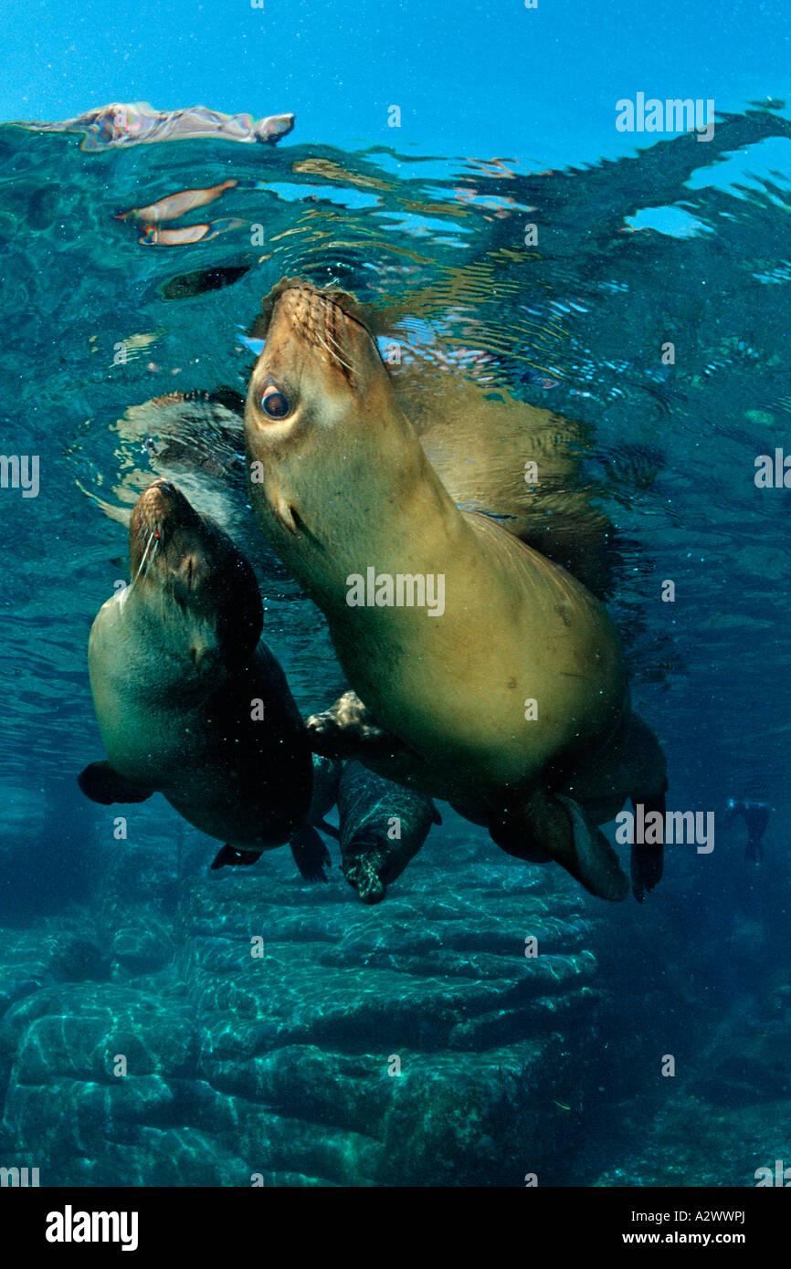 Californian Sea Lion Zalophus californianus Mexico Sea of Cortez Baja California La Paz - Stock Image