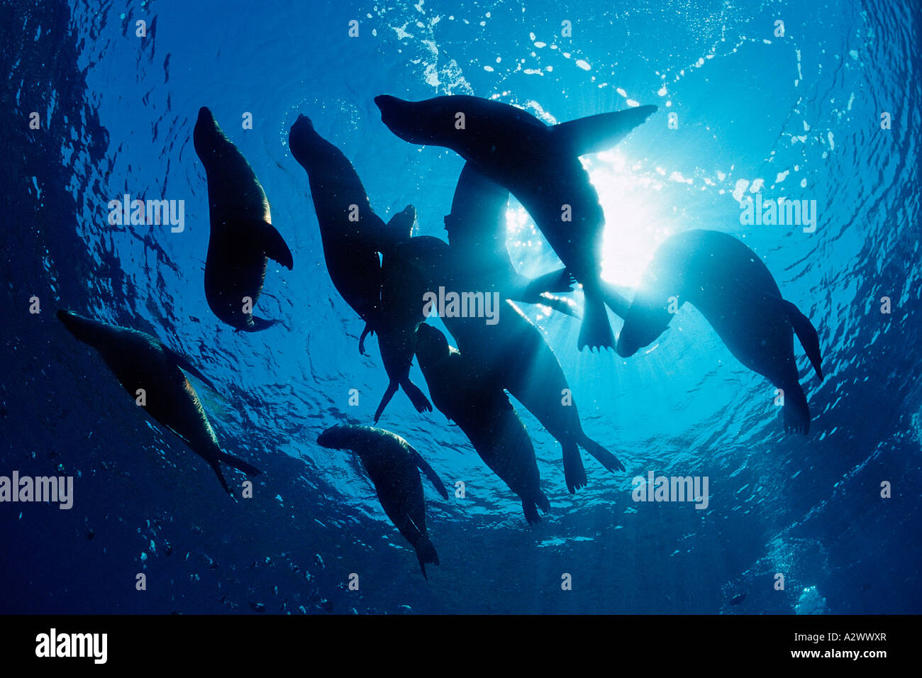 Group of Californian Sea Lion Zalophus californianus USA California Pacific Ocean - Stock Image