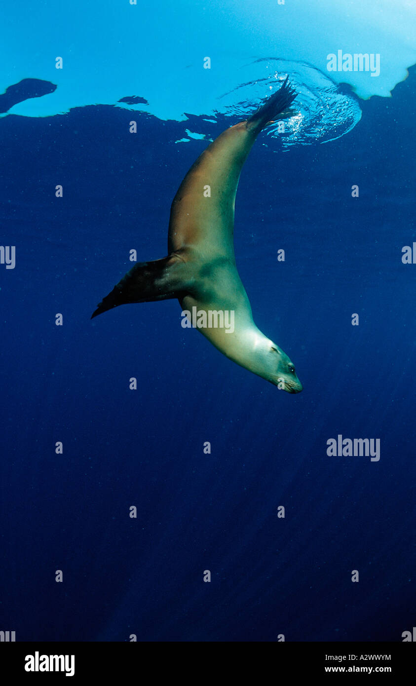 Dancing Californian Sea Lion Zalophus californianus USA California Pacific Ocean - Stock Image