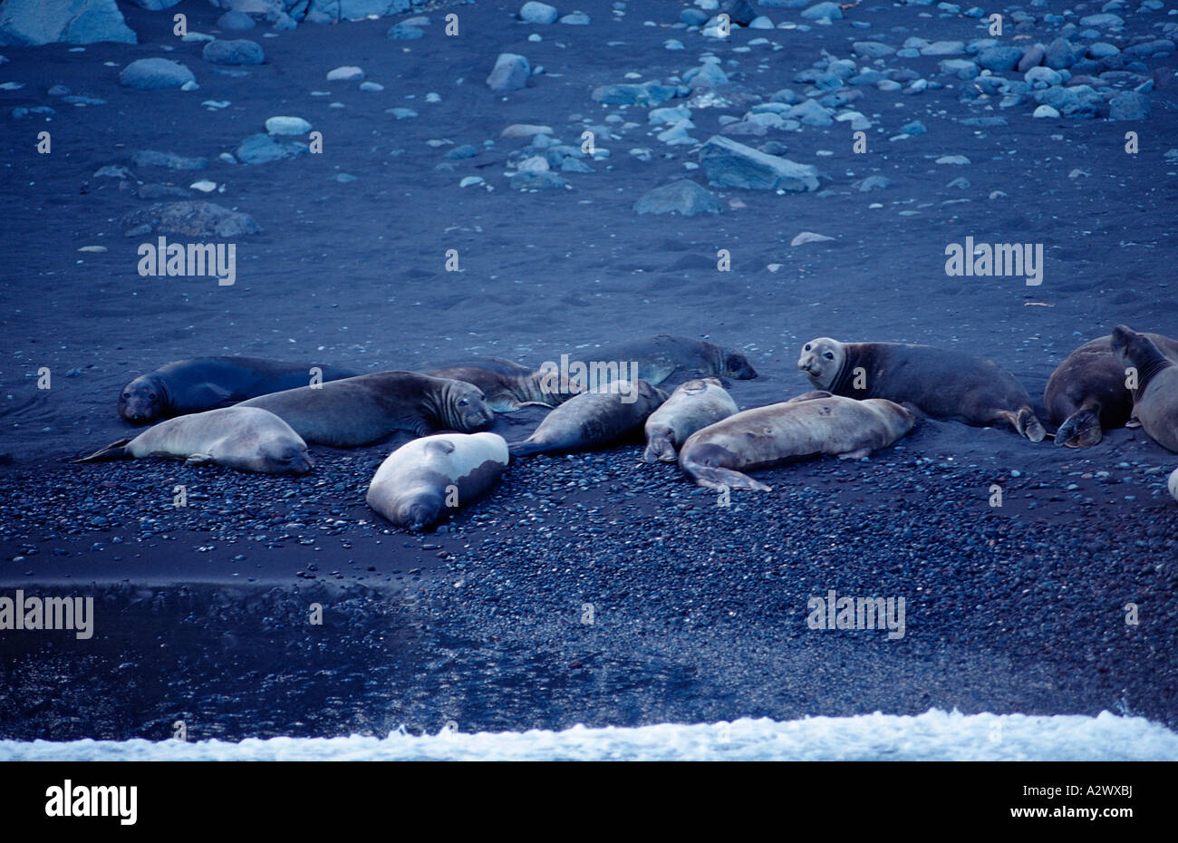 Northern elephant seal Mirounga angustirostris Mexico Pacific ocean Guadalupe - Stock Image