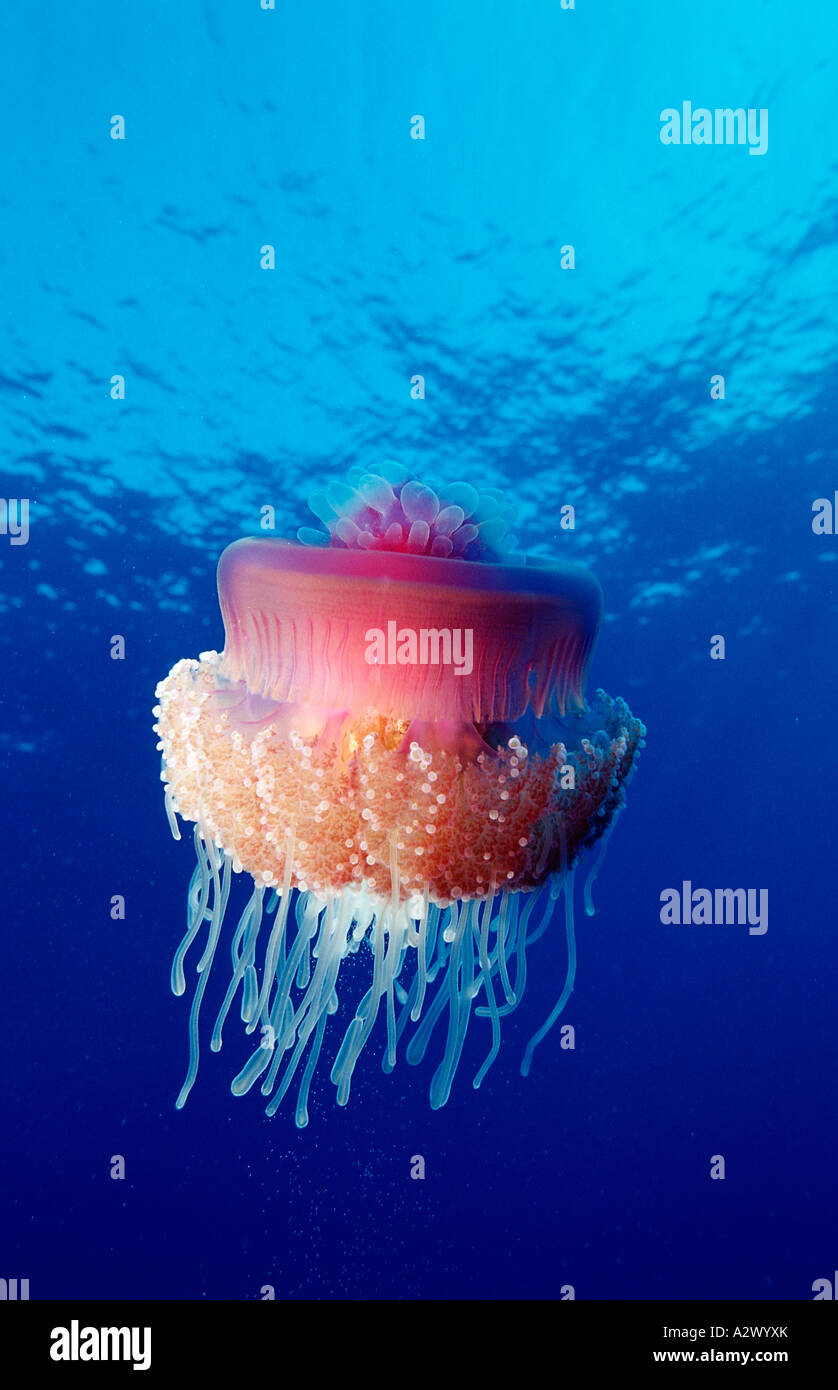 Crown jellyfish Netrostoma setouchina Egypt Africa Sinai Ras Mohammed Red Sea - Stock Image