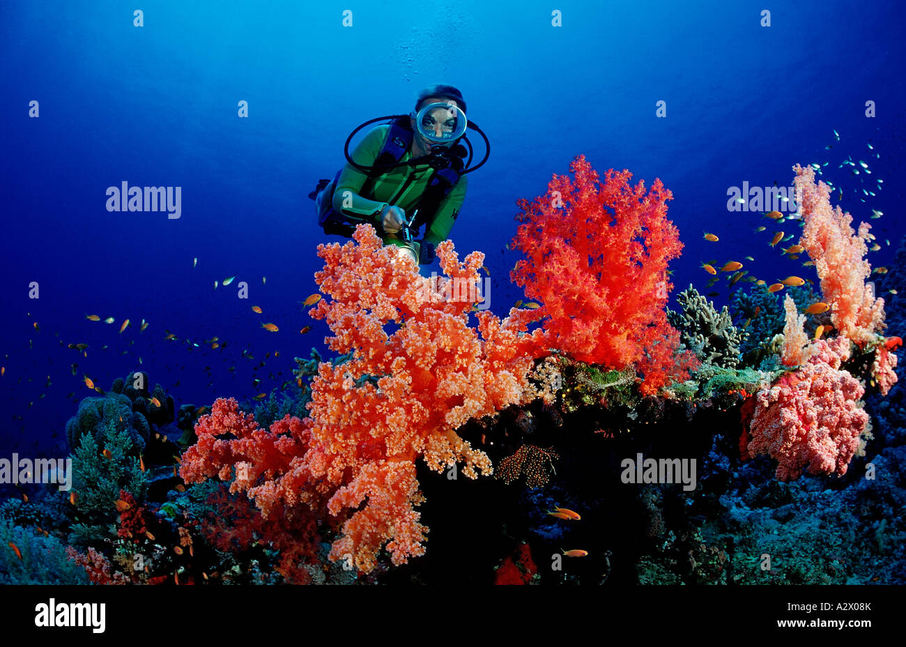 Scuba diver and colorful coral reef Egypt Africa Sinai Sharm el ...