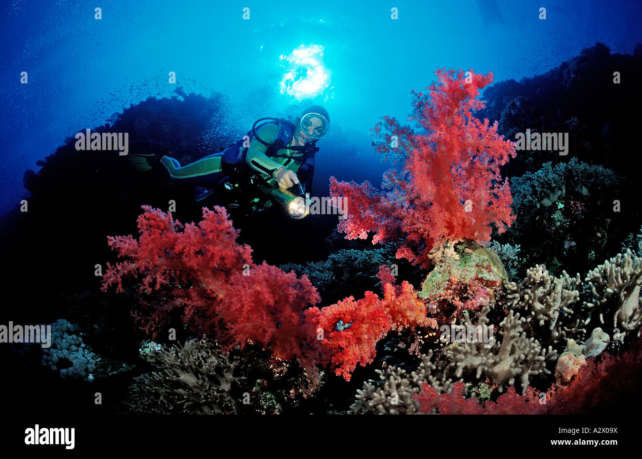 Scuba diver and colorful coral reef Egypt Africa Sinai Nuweiba Red Sea - Stock Image