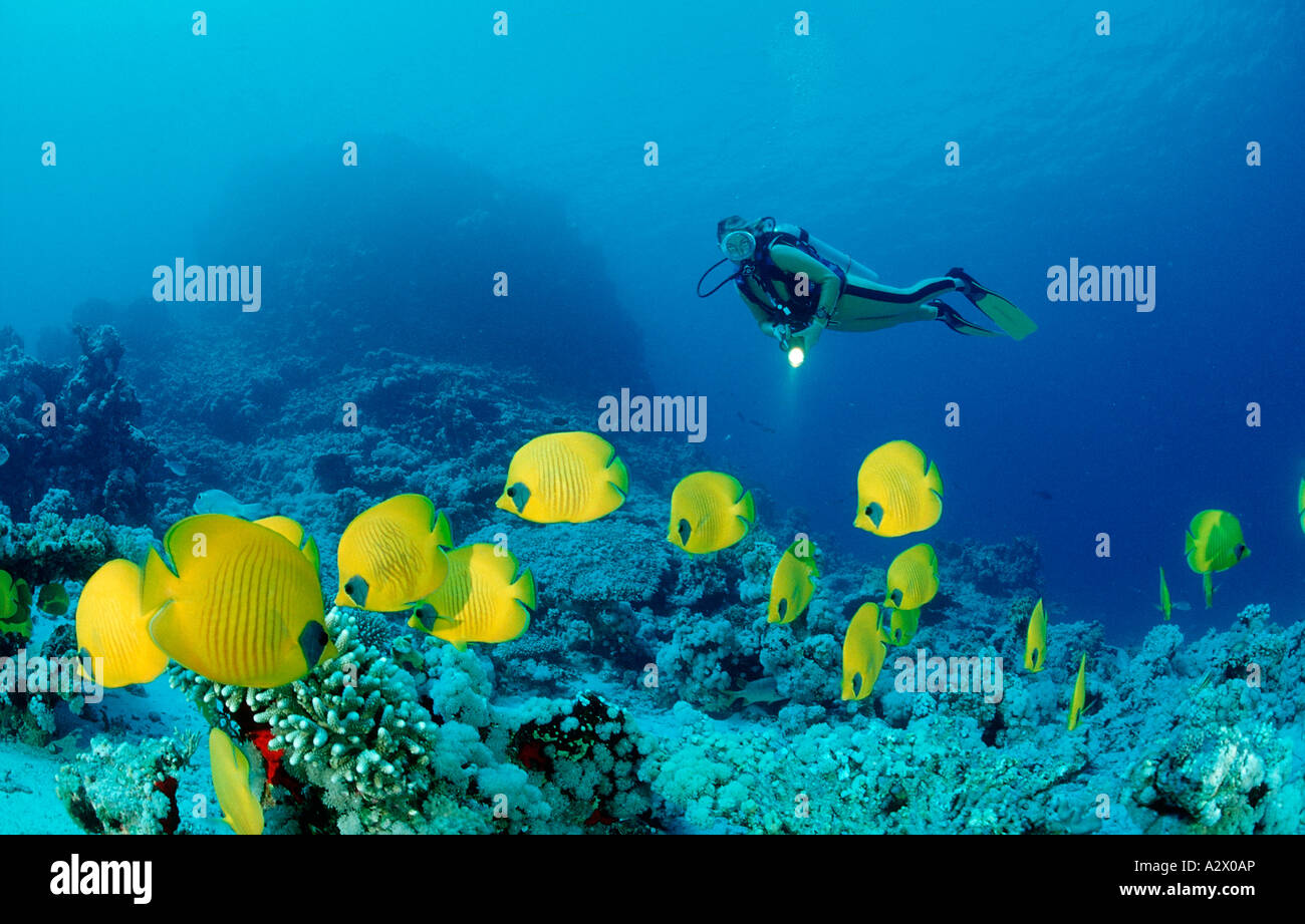 Scuba diver and Masked Butterflyfishes Chaetodon semilarvatus Egypt Africa Sinai Nuweiba Red Sea - Stock Image