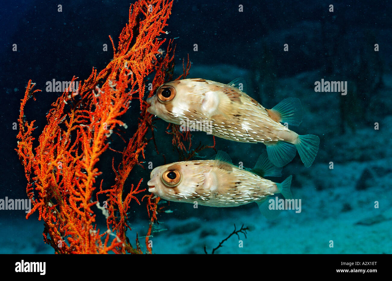 Two Balloonfishes Diodon holocanthus Mexico Sea of Cortez Baja California La Paz - Stock Image